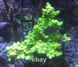 Coral frags beginners starter pack soft zoa sps lps sale marine reef corals