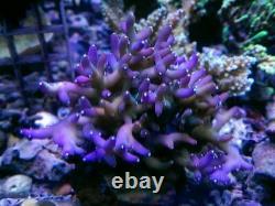 Coral Frags Débutants Starter Pack Soft Zoa Sps Lps Vente De Coraux Récifaux Marins